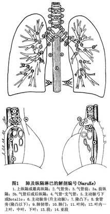 肺结构简图