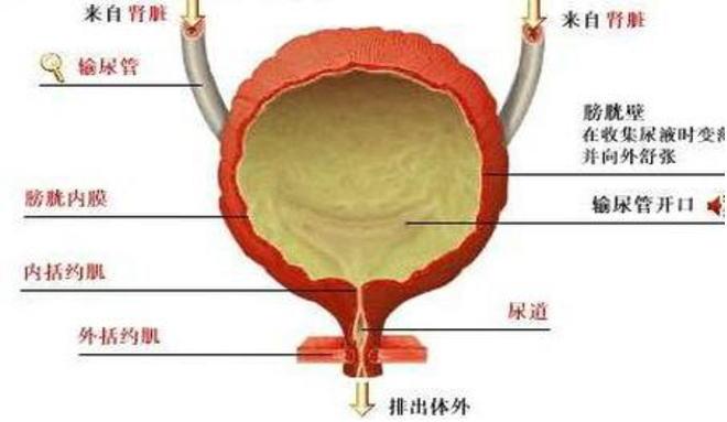 女性膀胱位置图片_膀胱炎的症状图片,膀胱炎图片大全_膀胱炎_39疾病百科