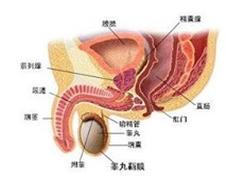尿道与阴茎结核