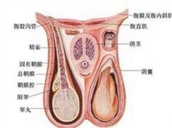 睾丸一大一小