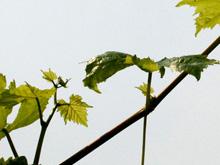 野葡萄藤 - 第1张  | 中草药图片大全-中药的功效与作用