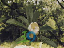木莲 - 第1张  | 中草药图片大全-中药的功效与作用