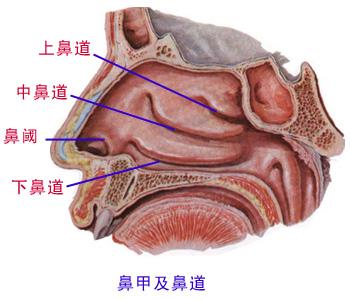鼻子结构图解 解剖图