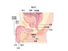 睾丸增大和变硬