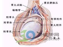 睾丸受浸润