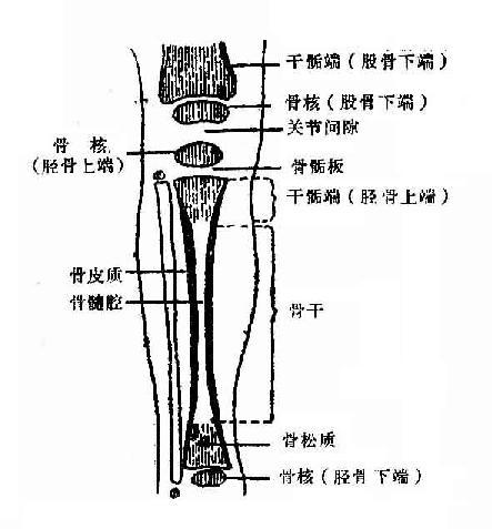 长骨简单结构图